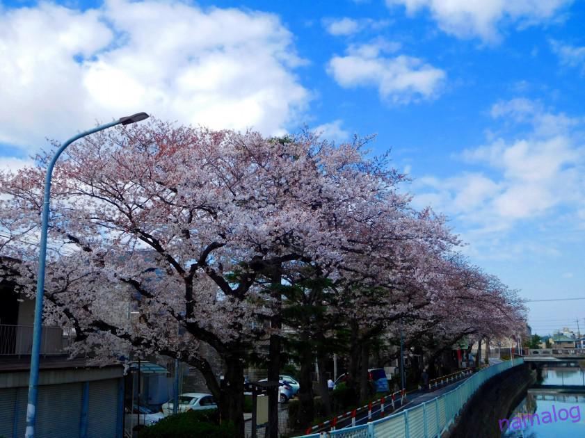 市川市内:弘法寺・葛飾八幡宮などの桜を見てきました(3/24朝)
